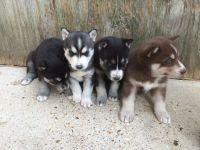 Chiot Types Husky Siberien disponibles