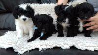 Adoption chiots Brewier Yorkshire Terrier