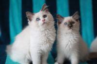 Donne jolie chaton Ragdoll
