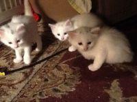 Magnifique chatons ragdoll a donner