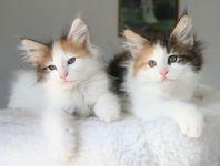 chatons norvegiens contre bon soin