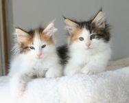 chatons norvegiens a donner