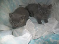 Magnifique chatons chartreux a donner
