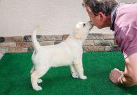 6 magnifiques chiots Golden Labrador