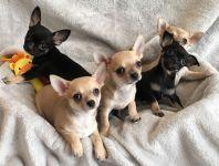 Portée de 6 magnifique chiots Chihuahua