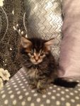 A donner 4 chatons Maine Coon