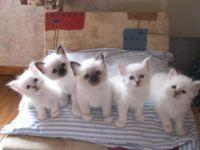 A donner chatons sacre de birmanie loof