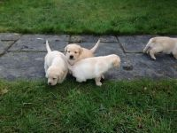 adorables chiots Golden Labrador non lof