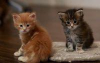 chatons mâle et femelle maine coon LOOF