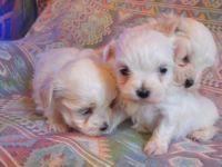 Superbes bébés Bichon Mâle et Femelle
