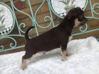 Donne Magnifique Chiot Chihuahua