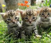 Adorable Chatons Bengal A Donner