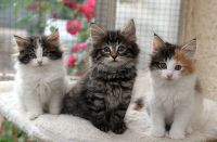 Magnifique chaton tricolore et tigre