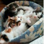 chaton tricolore et tigre