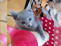 Chatons gris  contre bon soins