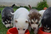 Chiots husky sibérien  yeux bleu pour adoption