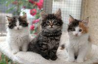 Adorable chatons tricolore et tigre a donner