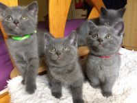 Don chatons chartreux