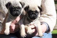 Adorable Chiots Carlin a donner