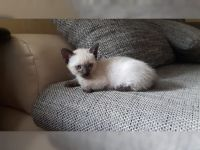 Superbes chatons siamois à adopter