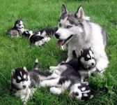 Adorables Chiots Husky Siberien