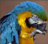 A donner Perroquet ara ararauna