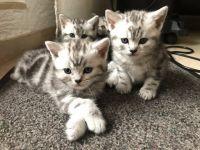 Magnifiques chatons tigrés