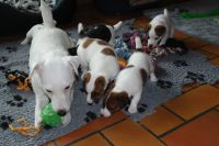 Chiots jack russel disponible