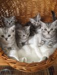 Addorable chatons British shorthair a donner