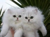 Adorable Chatons Persan A Donner