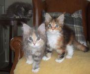 Donne 3 chatons maine coon mâle et femelles