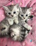 Don de deux magnifique chatons british shorthair