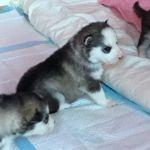 Très beaux chiots sibériens huskys LOF