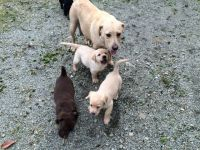 CHIOTS LABRADOR RETRIEVERS POUR ADOPTION URGENT
