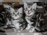 Chatons tigrés  contre bons soins