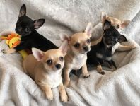 Magnifique chiots Chihuahua