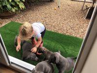 MAGNIFIQUES CHIOTS staffordshire bull terrier
