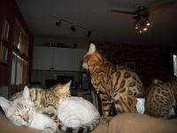 Magnifiques chatons bengal loof