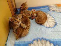 Disponibles de suite Très jolis chatons
