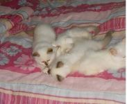 chatons sacre de birmanie loof
