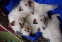 Magnifiques chatons de race s