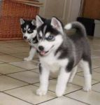 Don de chiot de race husky siberien