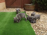 Adorables staffordshire bull terrier