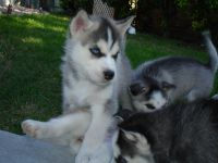 Chiot type husky sibérien mâle et femelle