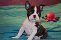 Superbes chiots Boston Terrier