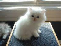 a adopter chaton persan