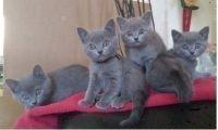 Adorable chatons chartreux Donner Contre bon soin