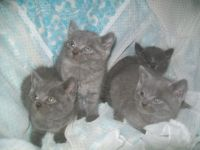 Adorable Chaton Chartreux A Donner