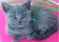 Chatons chartreux a donner