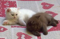 Adorable chaton British Shorthair B/B a donner